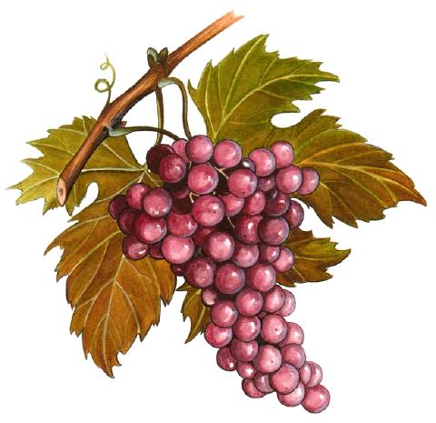 Tubes raisins vignes - Feuille de vigne dessin ...