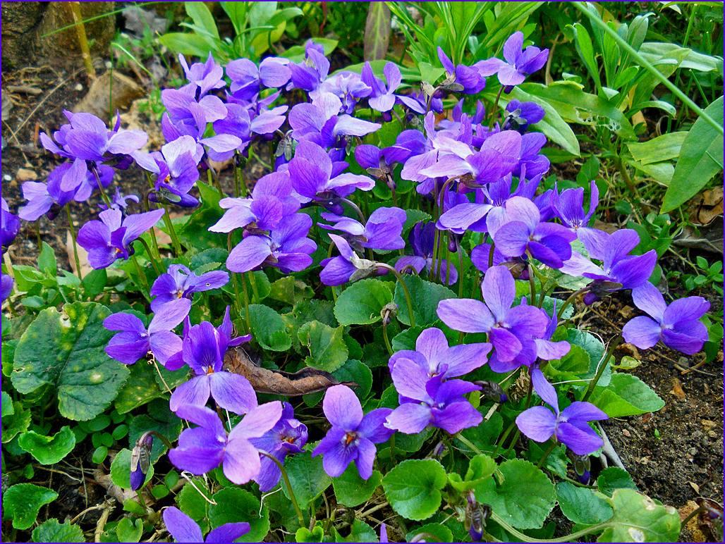 Fleurs la violette - Image fleur violette ...